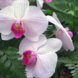 hawaii_orchid_1.jpg